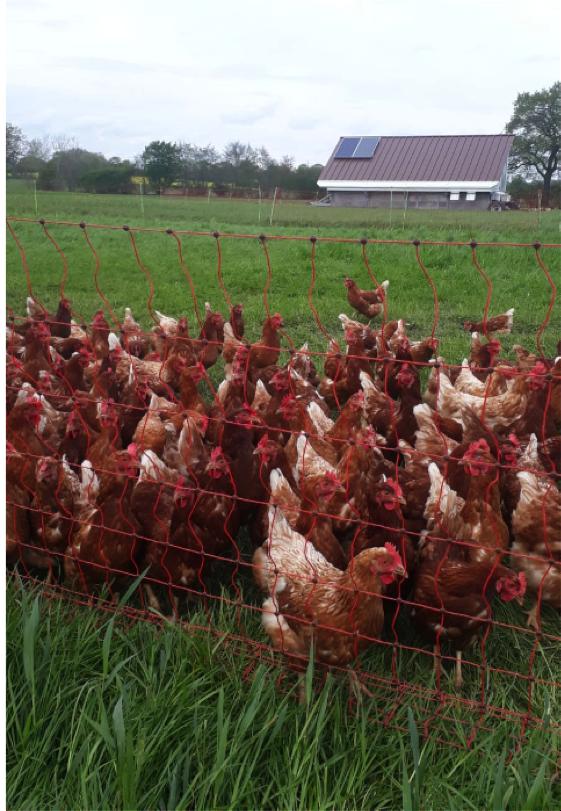 Suppenhühner vom Landhof Buhg Geesthacht